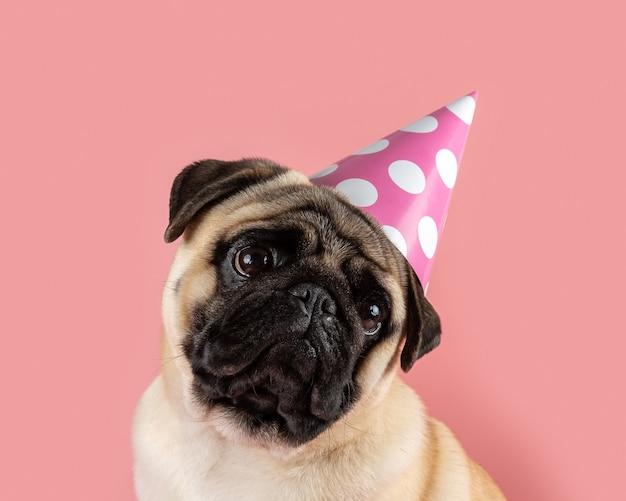 ピンクの背景にハッピーバースデー帽子をかぶっている面白いパグ犬。