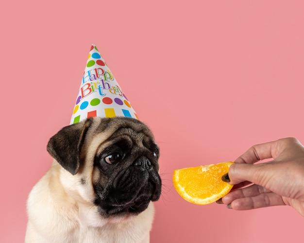 ピンクの背景にオレンジ色のお誕生日おめでとう帽子をかぶっている面白いパグ犬。