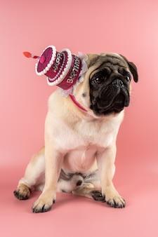 ピンクの背景にピンクのお誕生日おめでとう帽子をかぶっている面白いパグ犬。