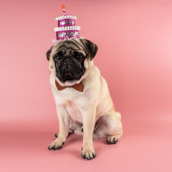 ピンクの背景にピンクのハッピーバースデーハットをかぶった面白いパグ犬。