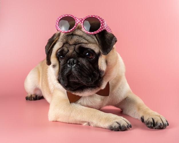 ピンクのピンクのメガネと面白いパグ犬。