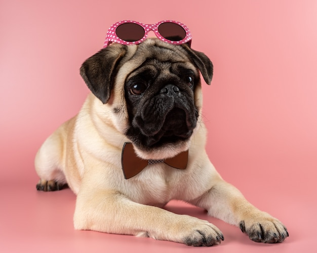 Funny pug dog with pink glasses on pink.