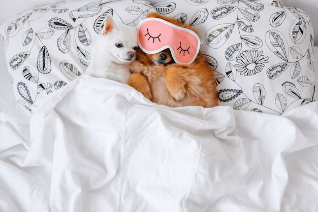 Funny puppies lying under blanket in bed.