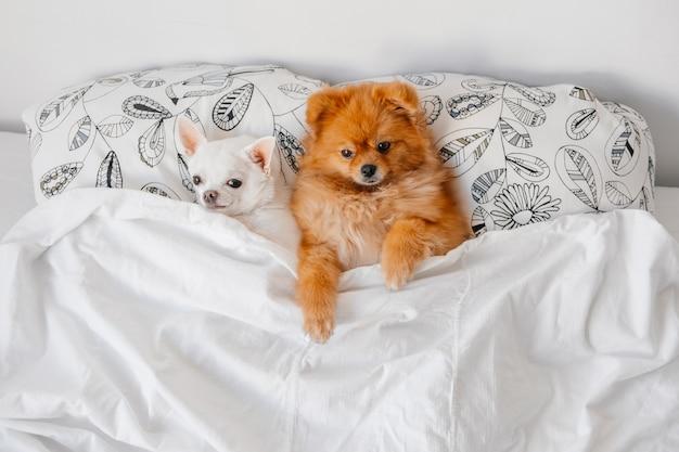 Смешные щенки, лежа под одеялом в постели.