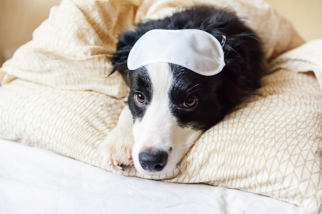 Funny puppy border collie with sleeping eye mask lay on pillow blanket in bed little dog at home lying and sleeping.