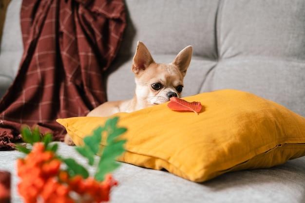 Забавный щенок чихуахуа, лежащий на диване и подушке под пледом в помещении, милая маленькая собачка, домашнее тепло