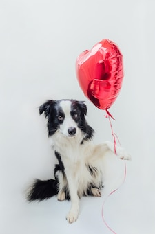 Funny puppy dog border collie holding red heart balloon in paw isolated on white background
