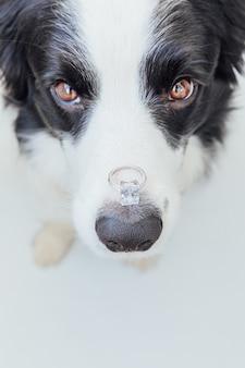 Забавный щенок бордер-колли, держащий обручальное кольцо на носу на белом