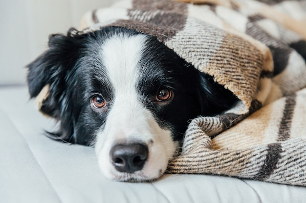 Funny puppy dog border collie lying on couch under plaid indoors. lovely member of family little dog at home warming under blanket in cold fall autumn winter weather. pet animal life concept.