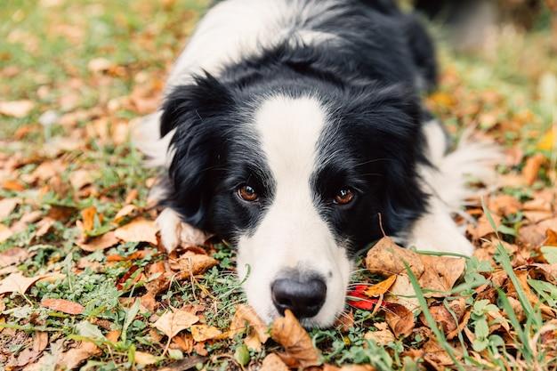 Забавный щенок бордер-колли лежа на сухих осенних листах в парке на открытом воздухе. собака нюхает осенние листья на прогулке. здравствуйте, осенняя концепция холодной погоды.