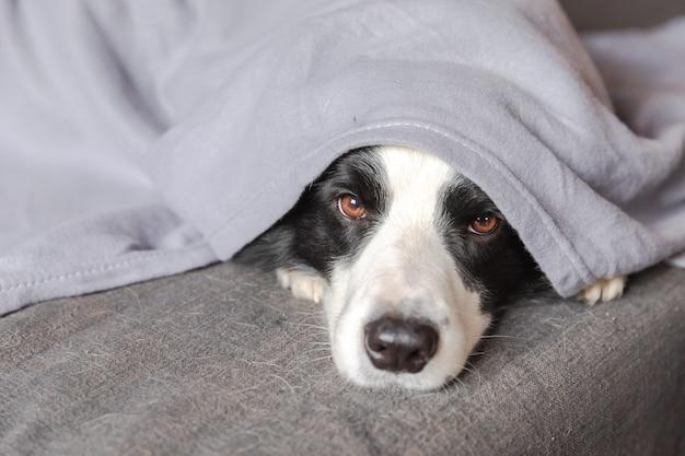 Забавный щенок бордер-колли лежит на диване под пледом в помещении маленькая собачка дома согревается ...