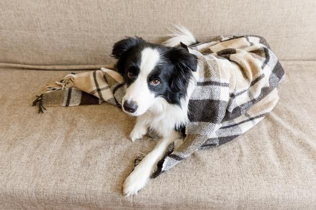 Забавный щенок бордер-колли, лежа на диване под пледом в помещении