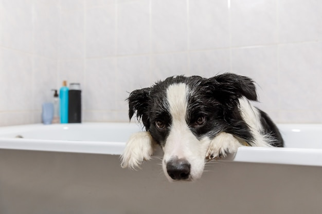 Funny puppy dog border collie sitting in bath gets bubble bath showering with shampoo