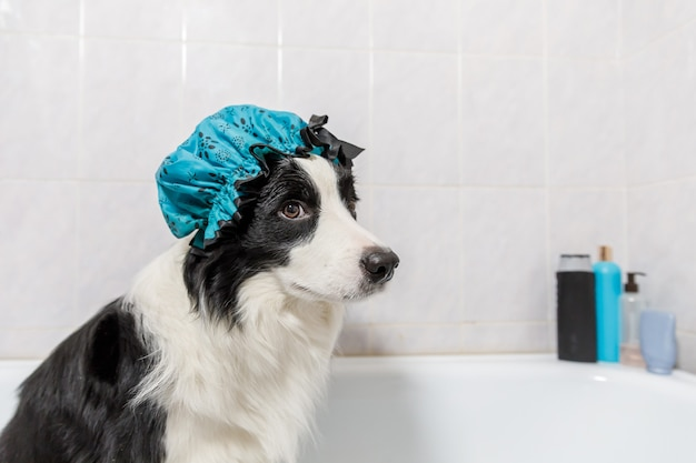Funny puppy dog border collie sitting in bath gets bubble bath wearing shower cap
