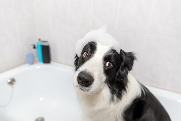 お風呂に座っている面白い子犬の犬のボーダーコリーは、シャンプーでシャワーを浴びて泡風呂を取得します