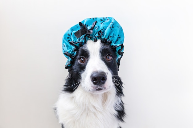 Funny puppy dog border collie wearing shower cap isolated