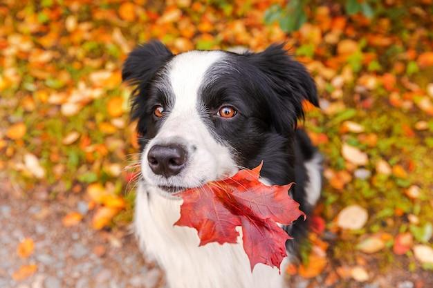 Забавный щенок бордер-колли с оранжевым кленовым листом во рту сидит на фоне парка ...