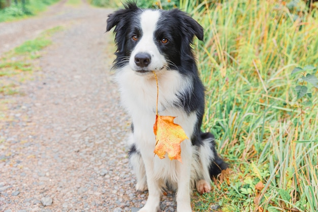 Забавный щенок бордер-колли с оранжевым кленовым листом во рту, сидя на фоне парка на открытом воздухе. собака нюхает осенние листья на прогулке. здравствуйте, осенняя концепция холодной погоды.