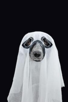 유령처럼 옷을 입고 할로윈을 축하하는 재미있는 강아지. 검은 배경에 고립.