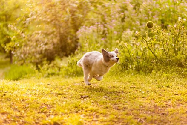 面白い子犬の犬の実行と幸せなミームボーダーコリーの休日の概念を再生します
