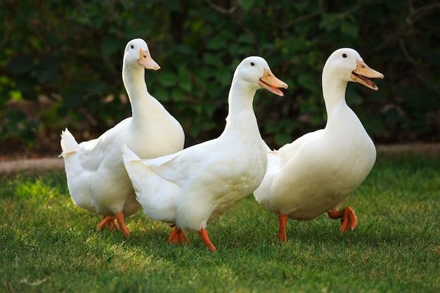 Funny quacking ducks on farm