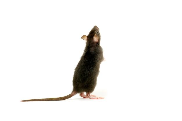 Забавная крыса, изолированная на белом