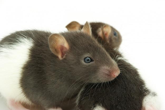 Смешная крыса изолирована на белом