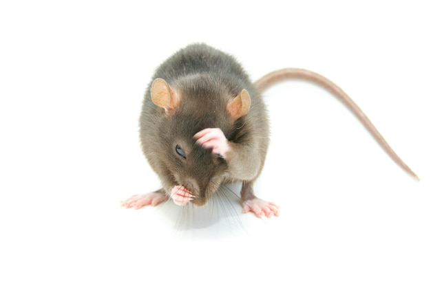 Funny rat  isolated on white surface