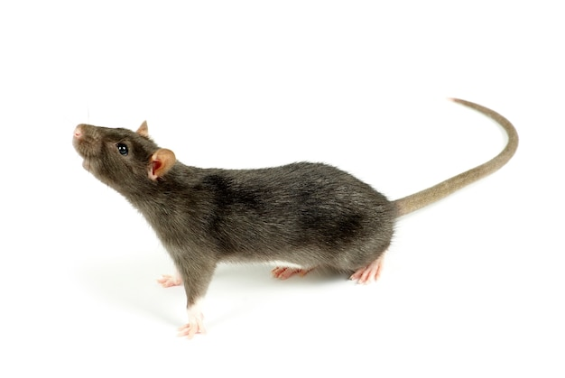 Funny rat  isolated