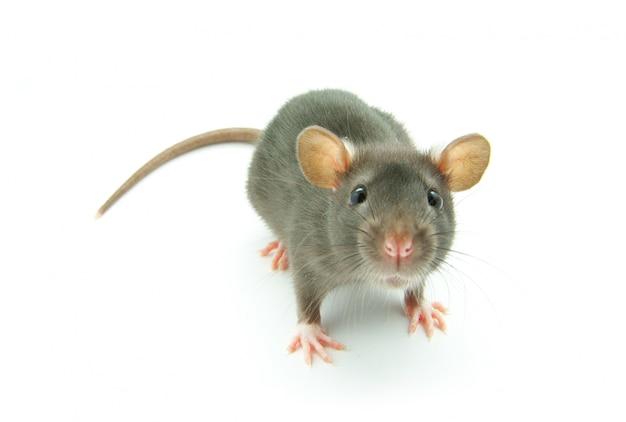 Смешная изолированная крыса