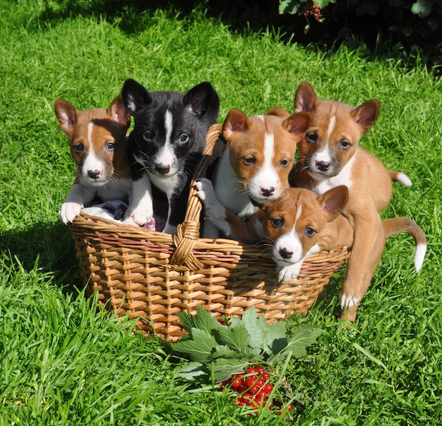 Funny red basenji dogs puppy in the basket