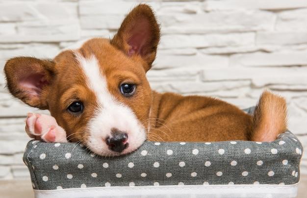 Забавный красный щенок басенджи в корзине, открытка