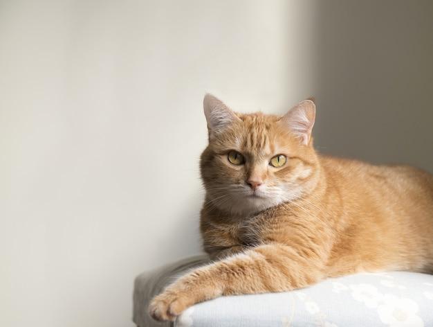居心地の良い家庭的な雰囲気の中で面白い赤い猫。横になっているぶち生姜猫。椅子に座って生姜猫を探しています。椅子に座って家で休んでいるオレンジ色の猫を喜ばせます