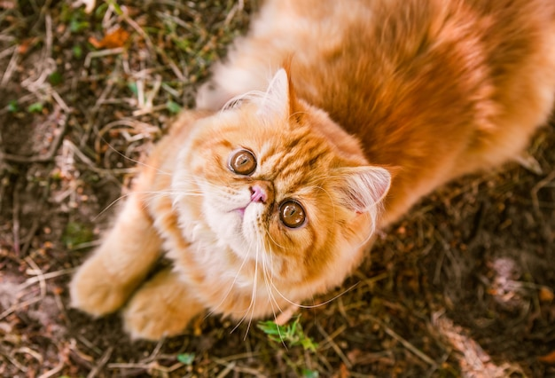 Funny red persian cat in autumn background top view