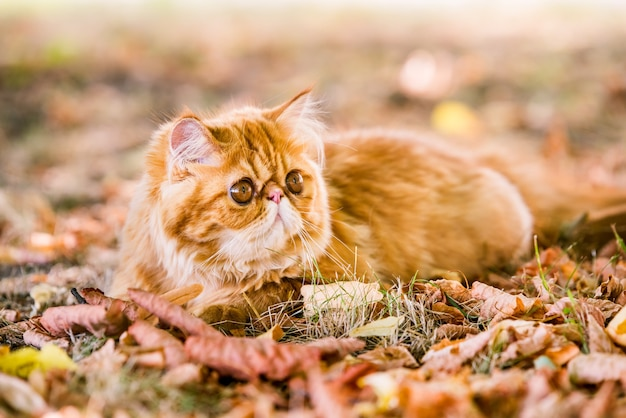 Funny red persian cat in autumn background with fallen dry leaves