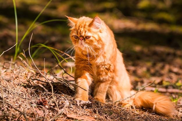 낙엽이 떨어진 가을 배경의 재미있는 붉은 페르시아 고양이