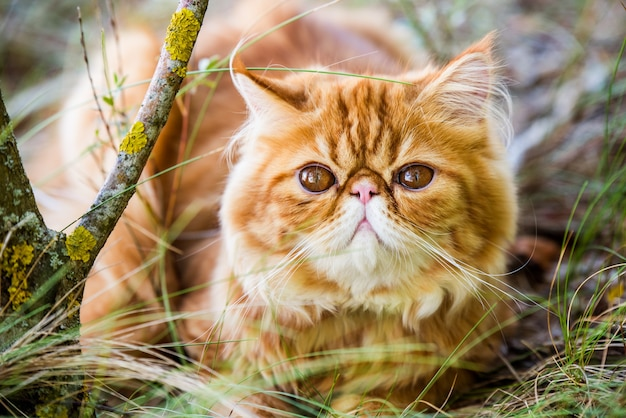 Funny red persian cat is walking in forest grass