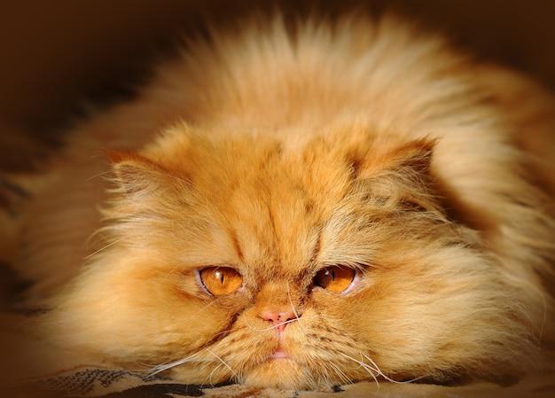 横になって注意深く先を見据えている面白い赤いペルシャ猫