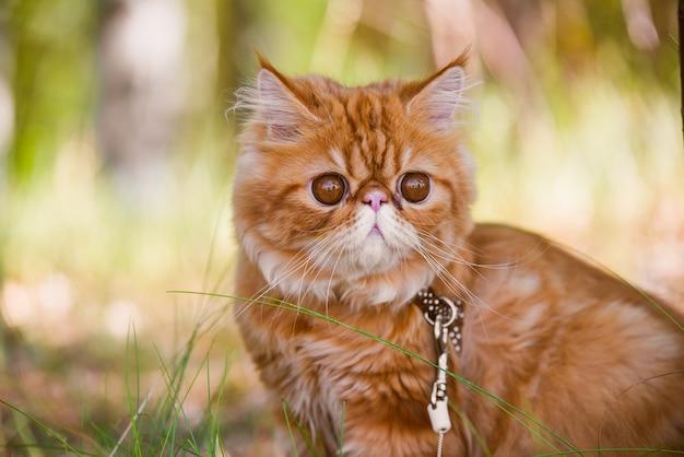 마당에서 산책하는 가죽 끈을 가진 재미있는 빨간 페르시아 고양이 초상화