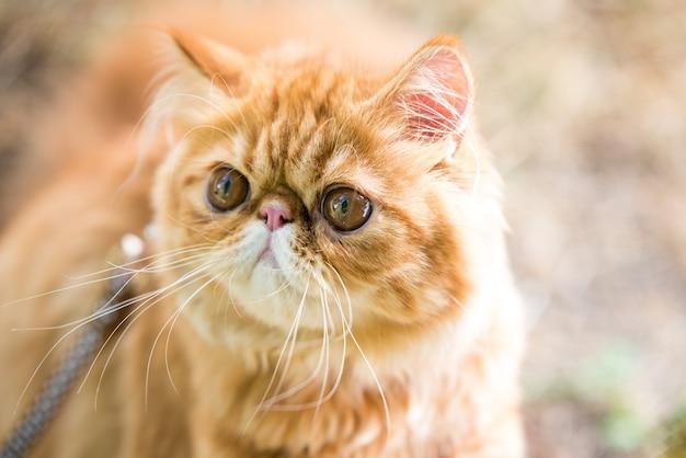 마당에서 산책하는 가죽끈이 달린 재미있는 붉은 페르시아 고양이 초상화.