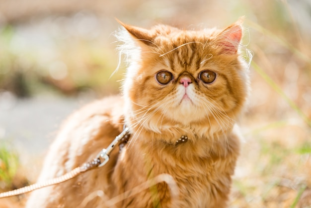 Funny red persian cat portrait with a leash walking in the yard