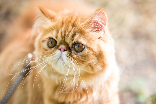 Funny red persian cat portrait with a leash walking in the yard.