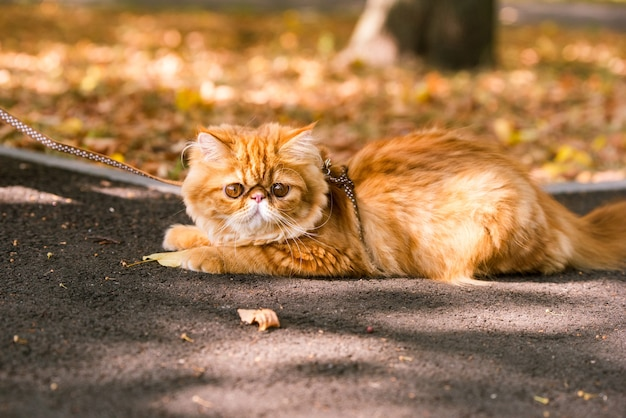 Funny red persian cat with a leash walking in the yard.