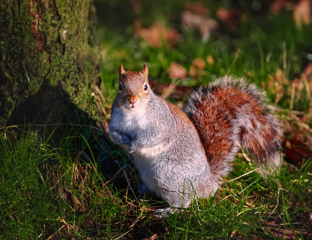 Funny red squirrel sits on grass near a tree in hyde park in london