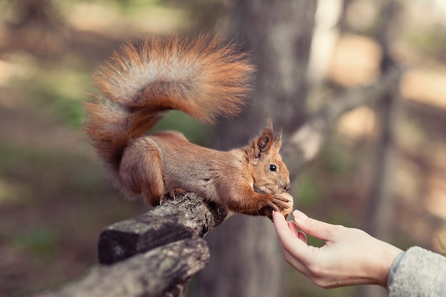Funny red squirrel takes walnut from hand in park