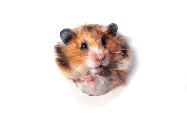 재미있는 빨간 시리아 햄스터 종이 구멍을 통해 들여다 본다 프리미엄 사진