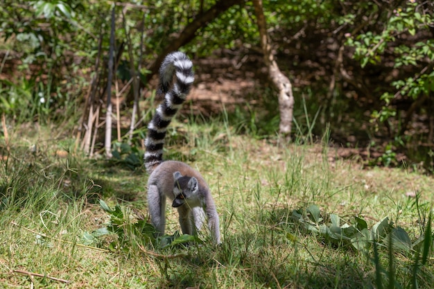 A funny ring-tailed lemur in its natural environment.