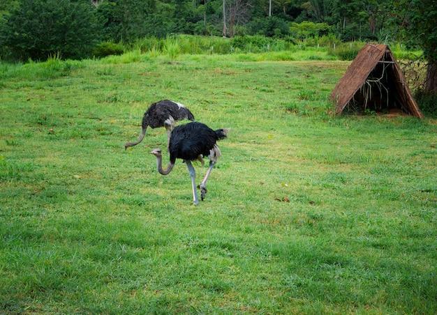 Забавный бегущий страус в поле свежей зеленой травы, животное в природе