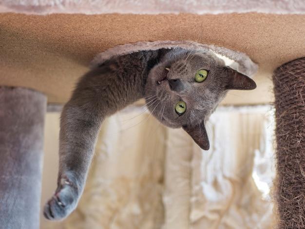 Забавный русский голубой кот выглядывает из дырки в кошачьем лежаке
