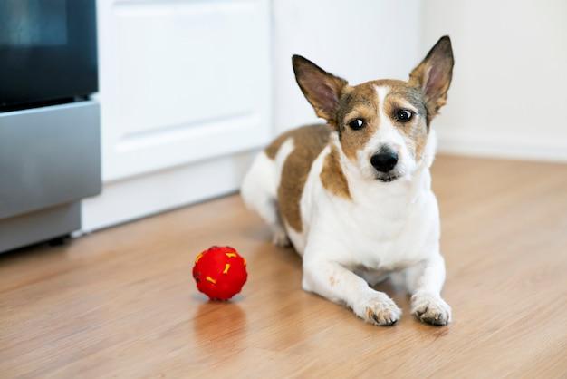 Забавная грустная собака играет дома с игрушкой для домашних животных с писклявым мячом